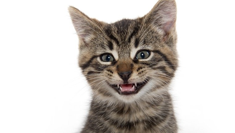 A tabby kitten smiles, showing its teeth against a white background.