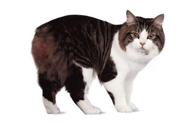 cymrc-cat-breed-pictures