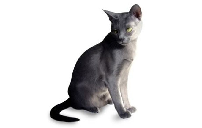 korat-cat-breed