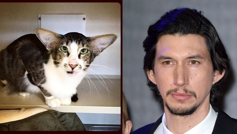 A brown and white cat lies on a table. A picture of Adam Driver is on the right for comparison.