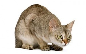 Top 17 Least Shedding Cat Breeds
