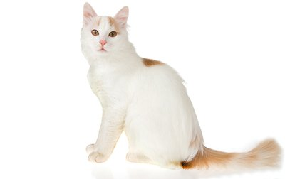 turkish-van-cat-breed-pictures
