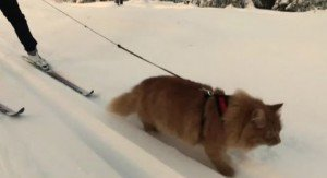 Jesperpus The Cat Who Loves Skiing With His Human [VIDEO]