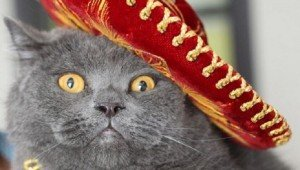 Meet The Biggest British Shorthair In The World, Or At Least On Instagram