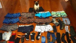 Tonkinese 'Cat Burglar' Turns To Life Of Crime And Burgles A Lot Of Men's Underwear