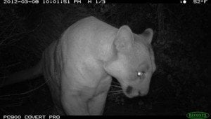 The Mountain Lion's Side: An Interview With P-22 On The Koala Killing At The LA Zoo
