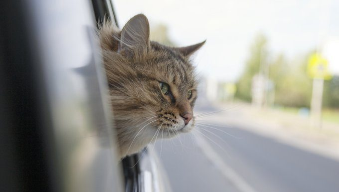 cat in car with head out the window