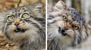 Meet The Incredibly Adorable Pallas's Cat [VIDEO]