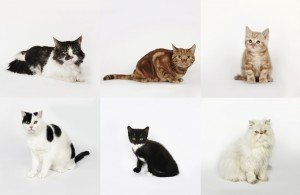 Cat Breeds: Effects On Personality, Behavior, And Health