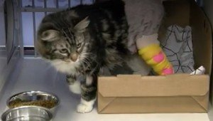 Cat Found Dangling From Hind Paw Stuck In Fence Gets Rescued