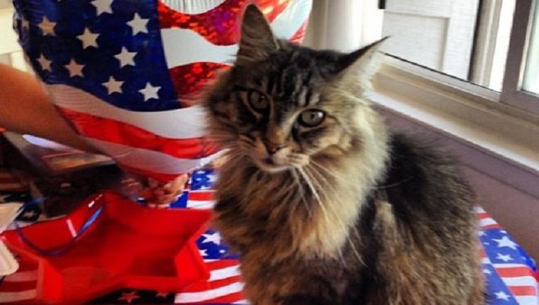 30 Patriotic Cats Celebrating The Fourth Of July Cattime
