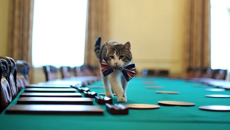 Larry, the 10 Downing Street cat, walks on the cabinet table wearing a British Union Jack bow tie ahead of the Downing Street street party, in central London, on April 28, 2011. Downing Street will hold a street party tomorrow to celebrate the royal wedding of Britain's Prince William and Kate Middleton at Westminster Abbey, on April 29, 2011. AFP PHOTO/BEN STANSALL/WPA POOL (Photo credit should read BEN STANSALL/AFP/Getty Images)