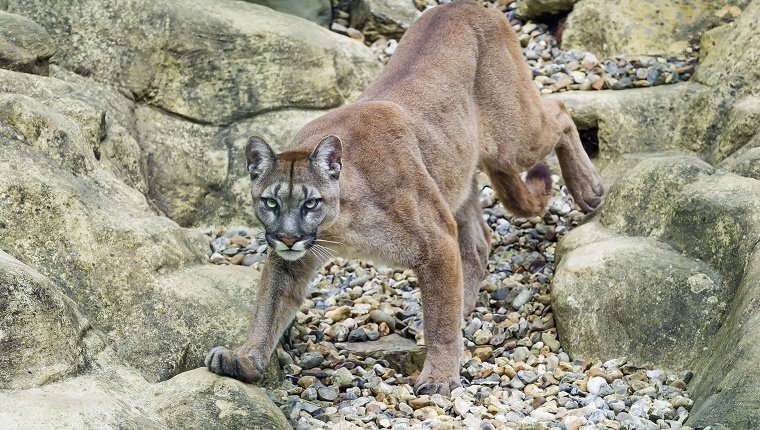 Viktoria the female puma, walking on the stones of her enclosure (nicely decorated).