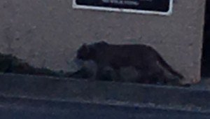House Cat Mistaken For Mountain Lion Causes Panic In San Mateo, California