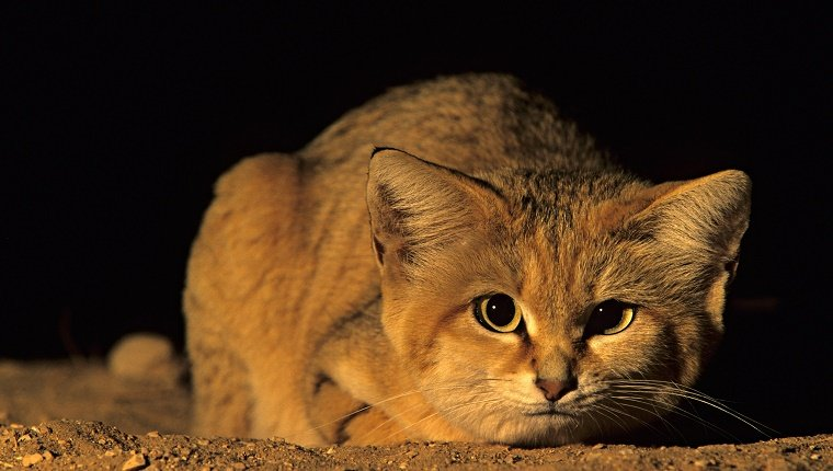 Sand cat, Felis margarita. Hai-Bar Wildlife Park, Israel
