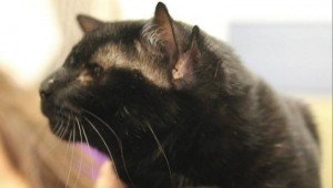 Cat With Four Ears Named Batman Finds Forever Home