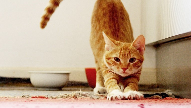 Stretching tabby Orange Cat.