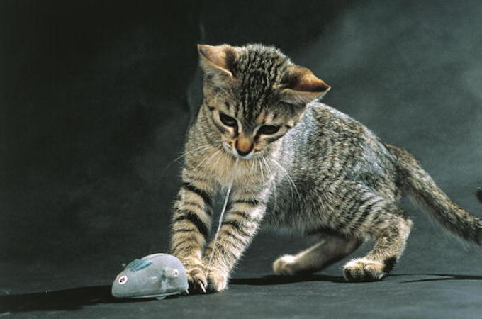 UNSPECIFIED - OCTOBER 28: Young tabby cat playing with toy mouse (Photo by DEA / D. ROBOTTI/De Agostini/Getty Images)