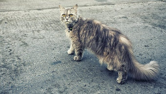 cat with long hair on sidewalk