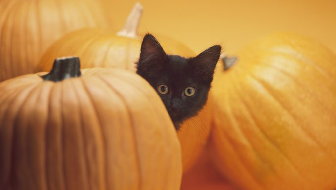 cat in between pumpkins