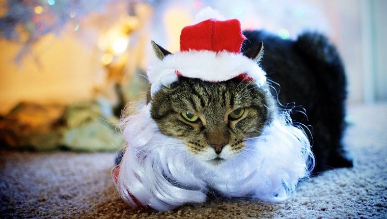 Portrait Of Cat In Santa Claus Costume During Christmas