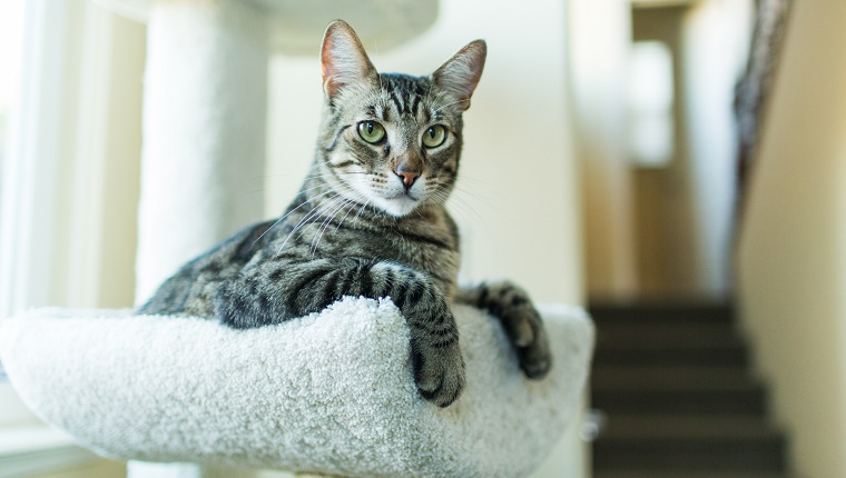 A playful tabby cat rests on a cat tree indoors.