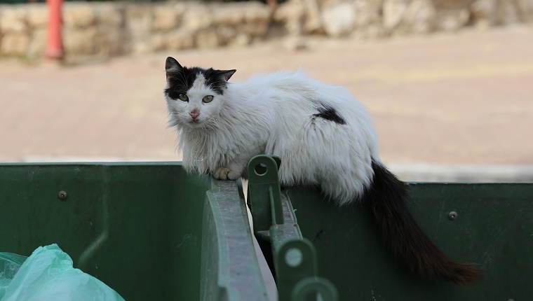 White and black cat with beautiful but filthy fur, stands in between two green trash cans. Hungry street cat looking after food in a plastic rubbish bin.