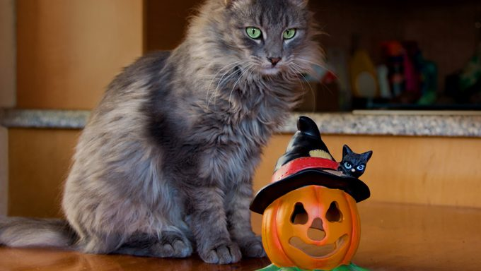 cat with pumpkin decoration