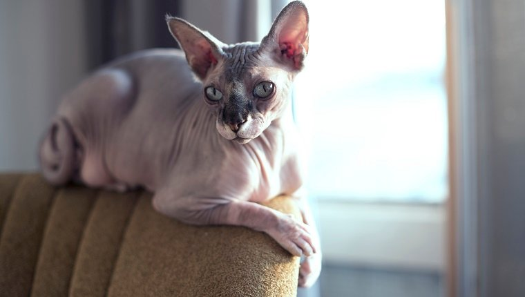 Sphynxcat on a vintage chair