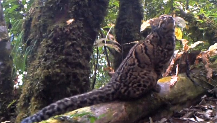 Mysterious Marbled Cat Caught On Camera Plus The 10