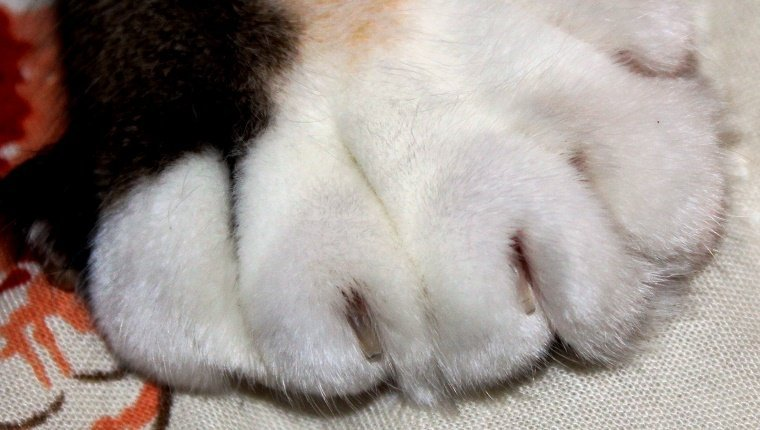 A cat with extra toes and nails is shown in a close up picture of the paw. Soft white fur extending into black and orange fur.