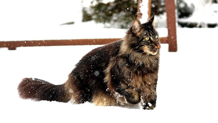 Domestic cat in snow