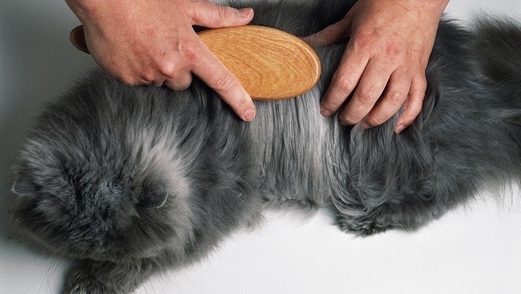 A longhaired grey cat having its coat brushed