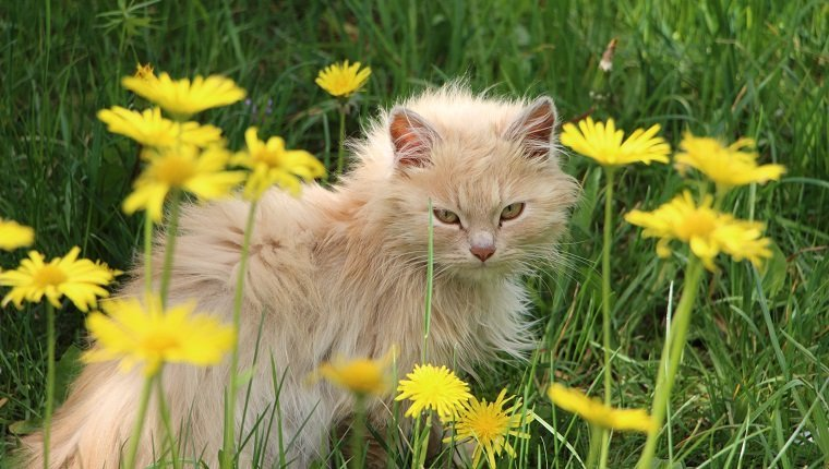 High Angle Portrait Of Cat Amidst Dandelion Blooming On Field