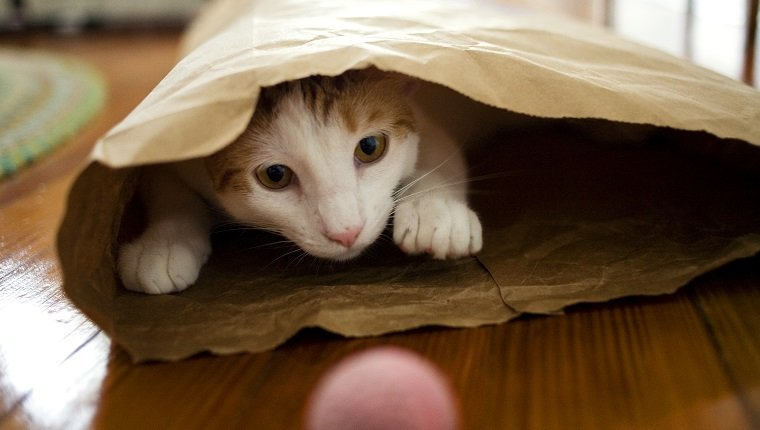 Cat inside a brown paper bag.
