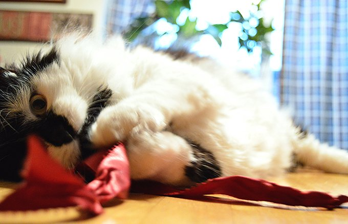 (Picture Credit: Getty Images)  Ribbon And Cats: How Dangerous Is Ribbon? Ribbon Cat 2