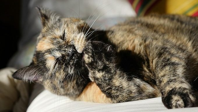 tortoiseshell cat licking paw