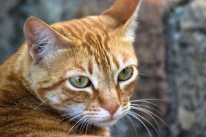 Tabby Cat: Fun Facts About The Tabby