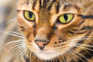Tiger Cat: Is There A Domestic Tiger Breed?