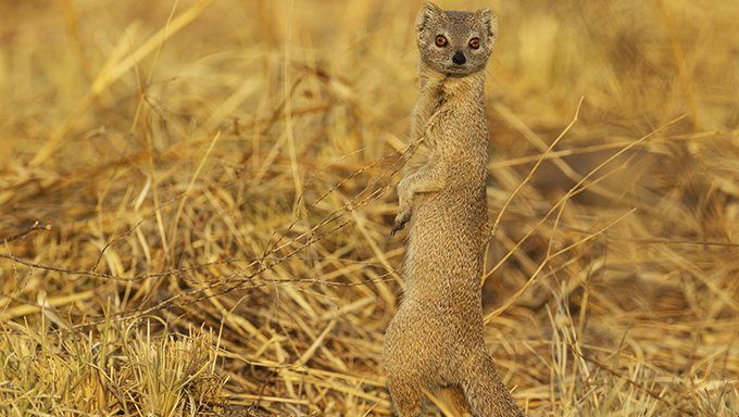 mongoose in field