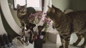 Why Do Cats Go Bonkers When They See Themselves in a Mirror?