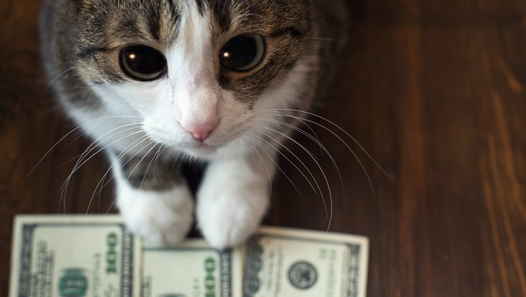 Adorable cat holds dollar banknotes with her paws and looks into the camera with her big eyes.