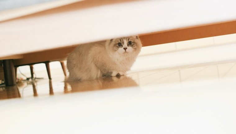 A cat under the table