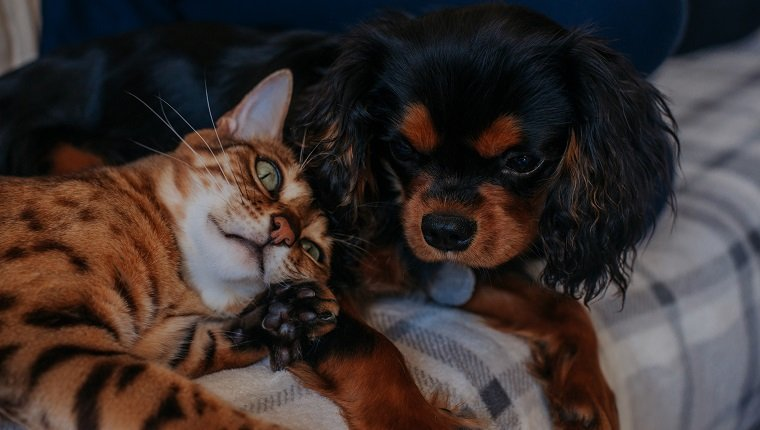 Brown striped Bengal cat resting her head on Black and tan Cavalier King Charles Spaniel puppy showing friendship.