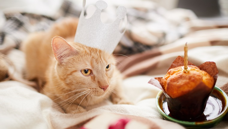 Portrait of beautiful ginger cat wearing crown laying on bed with Birthday cake copy space