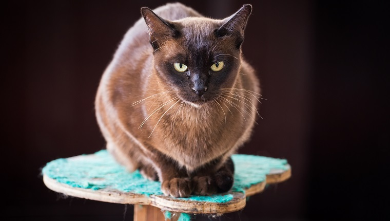The Top 10 Smartest Cat Breeds In The World - CatTime