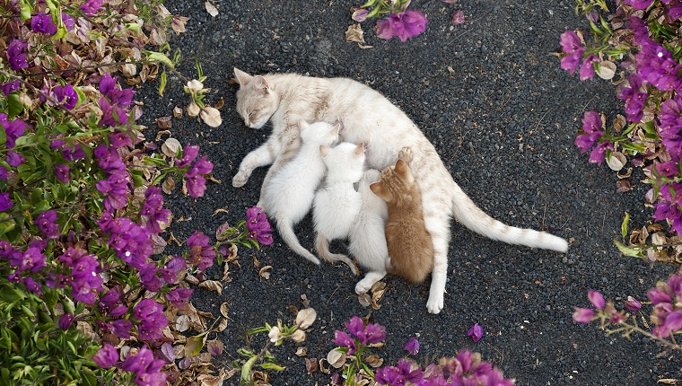 Nursing kittens surrounded by pink flowers, viewing from top, lying on the ground.