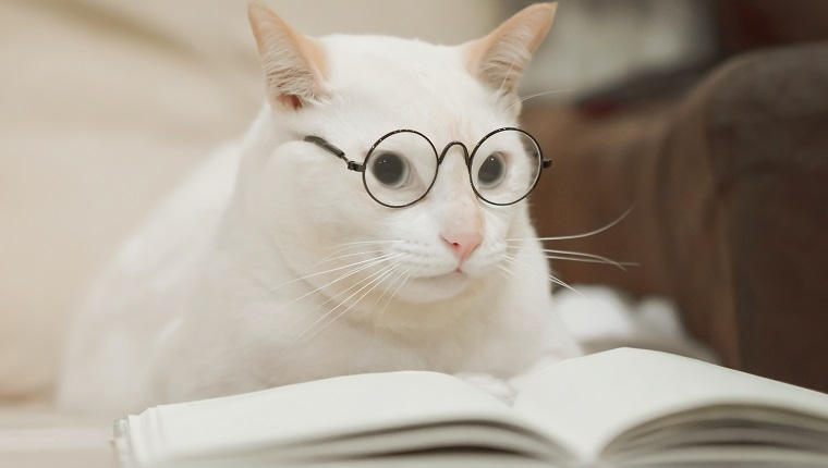 Cute business cat wearing glasses reading book . white cat lying on sofa.