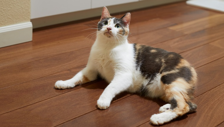 A young curious and playful manx calico cat with green eyes is sitting on a hardwood floor