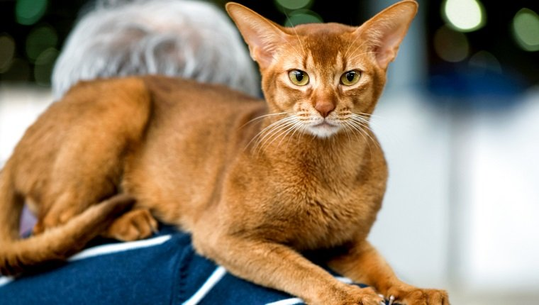 classic ruddy Abyssinian cat on owner shoulders at cat show